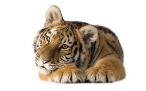 Фото тигра